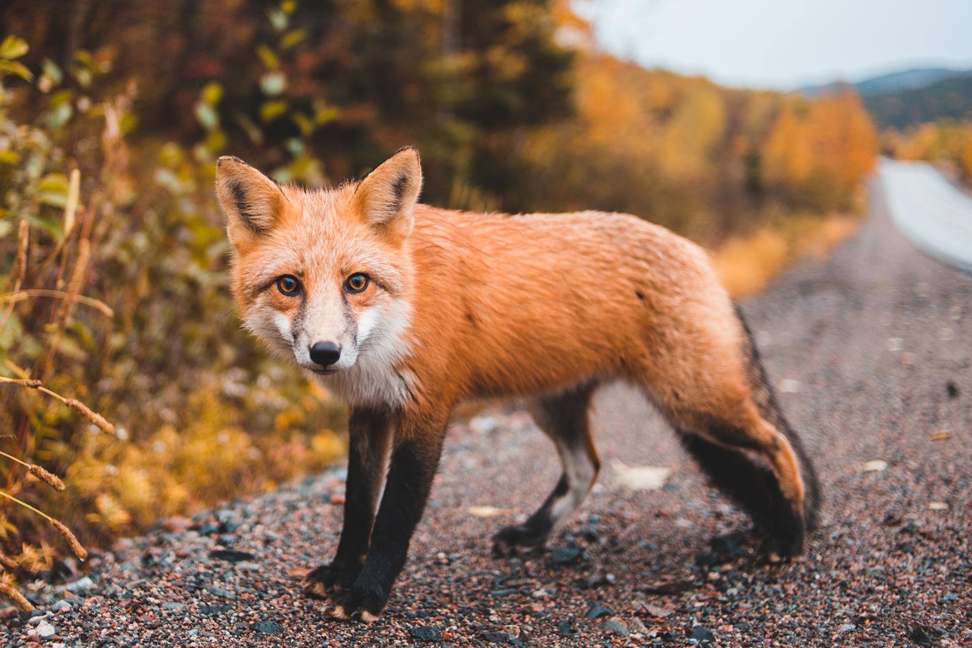 agriturismi in maremma foto di una volpe